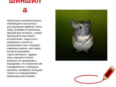 шиншила Небольшое млекопитающее, обитающее в пустынных высокогорных районах Ч...