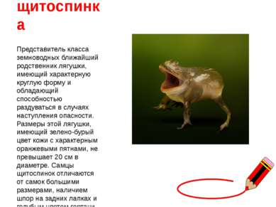 щитоспинка Представитель класса земноводных ближайший родственник лягушки, им...
