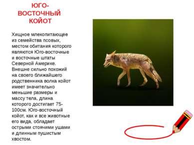 ЮГО- ВОСТОЧНЫЙ КОЙОТ Хищное млекопитающее из семейства псовых, местом обита...