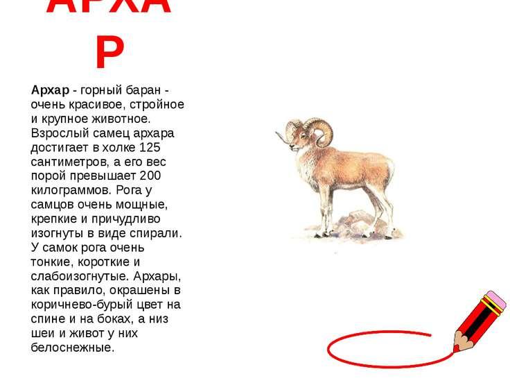 АРХАР Архар - горный баран - очень красивое, стройное и крупное животное. Взр...