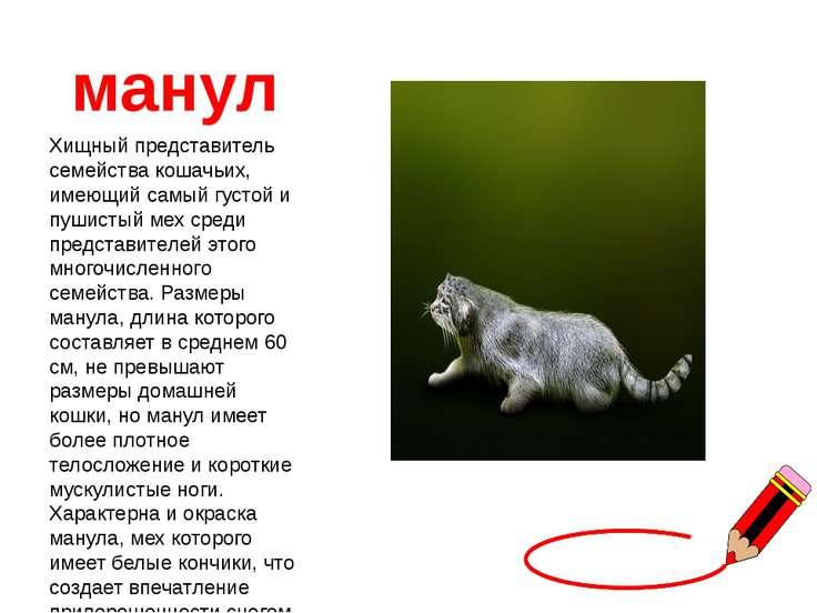 манул Хищный представитель семейства кошачьих, имеющий самый густой и пушисты...