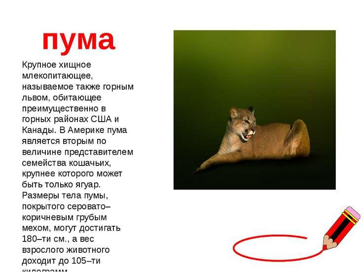 пума Крупное хищное млекопитающее, называемое также горным львом, обитающее п...
