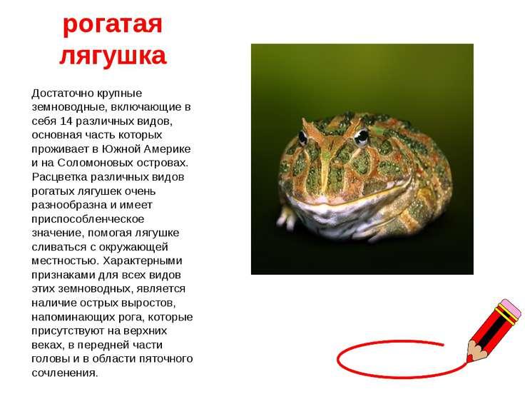 рогатая лягушка Достаточно крупные земноводные, включающие в себя 14 различны...
