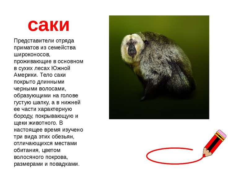 саки Представители отряда приматов из семейства широконосов, проживающие в ос...
