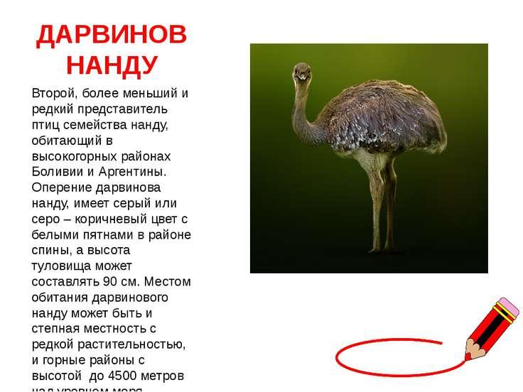 ДАРВИНОВ НАНДУ Второй, более меньший и редкий представитель птиц семейства на...