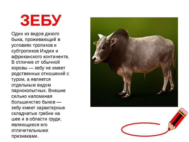 ЗЕБУ Один из видов дикого быка, проживающий в условиях тропиков и субтропиков...