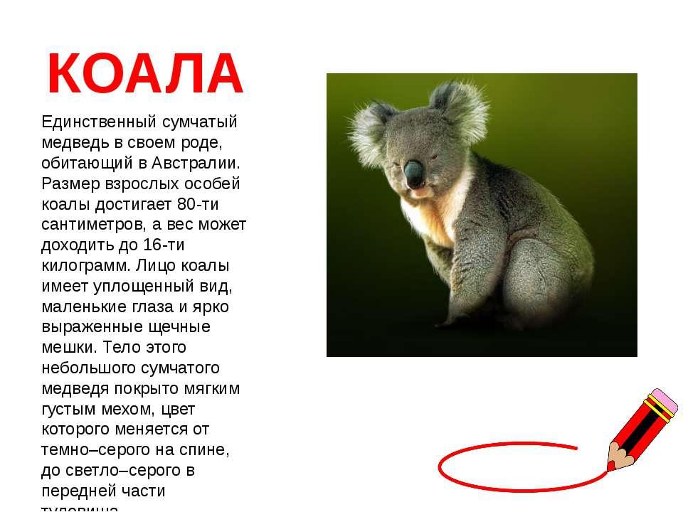 КОАЛА Единственный сумчатый медведь в своем роде, обитающий в Австралии. Разм...