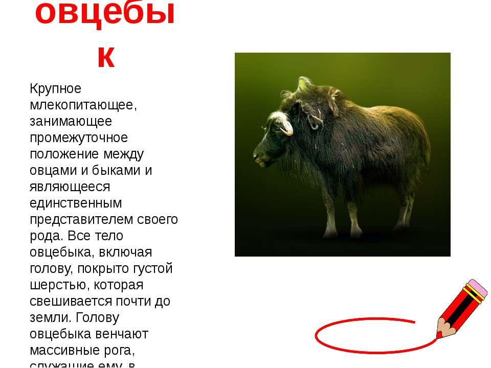 овцебык Крупное млекопитающее, занимающее промежуточное положение между овцам...