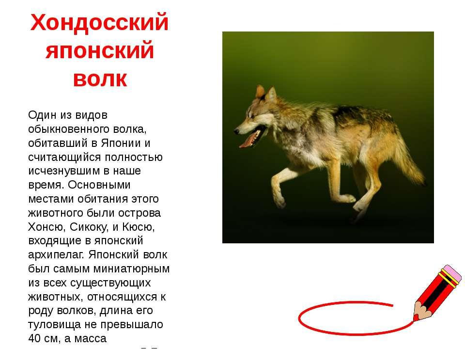 Хондосский японский волк Один из видов обыкновенного волка, обитавший в Япони...
