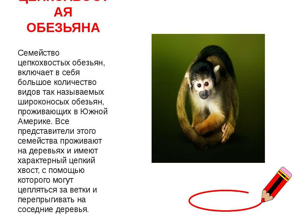 ЦЕПКОХВОСТАЯ ОБЕЗЬЯНА Семейство цепкохвостых обезьян, включает в себя большое...