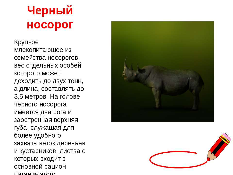Черный носорог Крупное млекопитающее из семейства носорогов, вес отдельных ос...