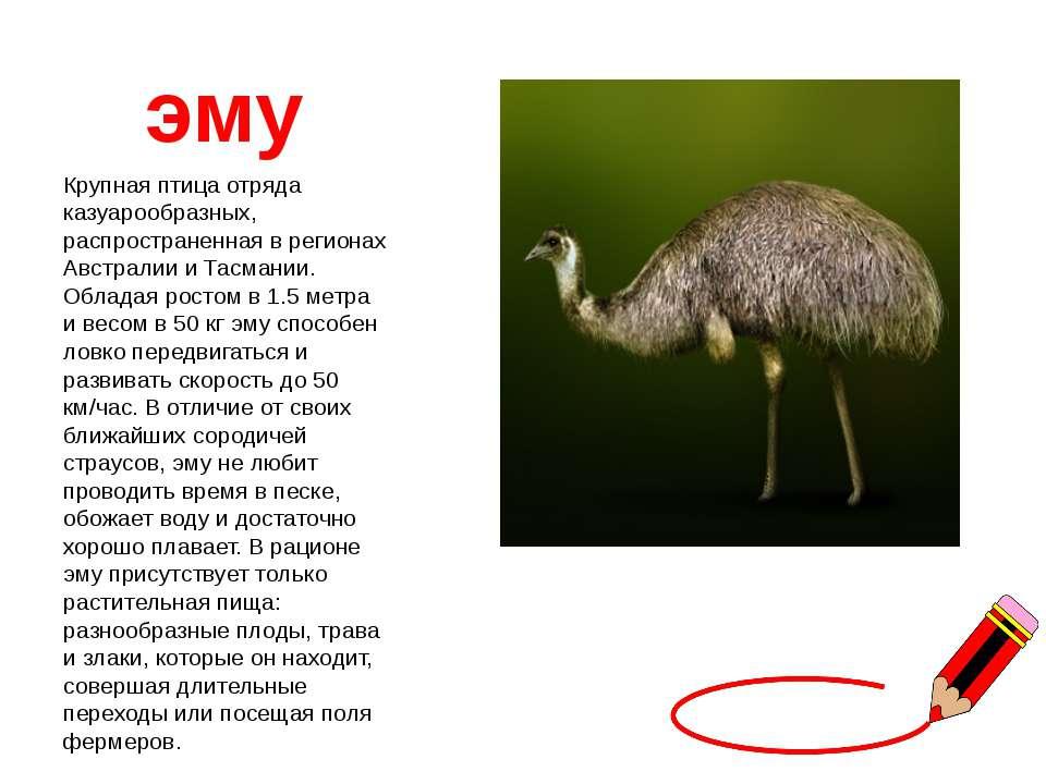 эму Крупная птица отряда казуарообразных, распространенная в регионах Австрал...