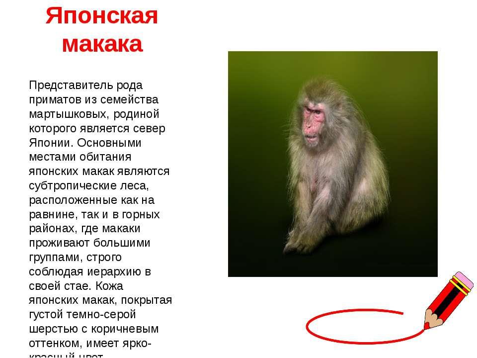 Японская макака Представитель рода приматов из семейства мартышковых, родиной...