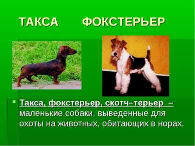 ТАКСА ФОКСТЕРЬЕР Такса, фокстерьер, скотч–терьер – маленькие собаки, выведенн...