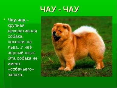 ЧАУ - ЧАУ Чау-чау – крупная декоративная собака, похожая на льва. У неё чёрны...