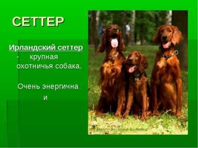 СЕТТЕР Ирландский сеттер - крупная охотничья собака. Очень энергична и сообра...
