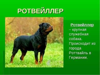 РОТВЕЙЛЛЕР Ротвейллер – крупная служебная собака. Происходит из города Роттва...