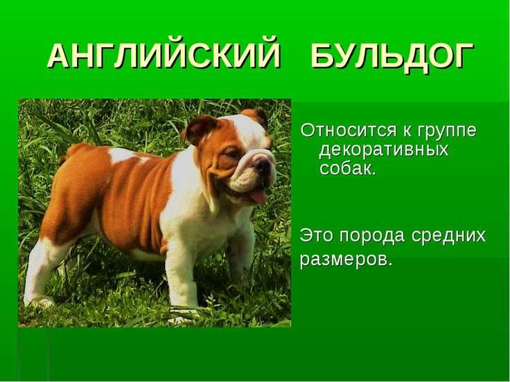 АНГЛИЙСКИЙ БУЛЬДОГ Относится к группе декоративных собак. Это порода средних ...