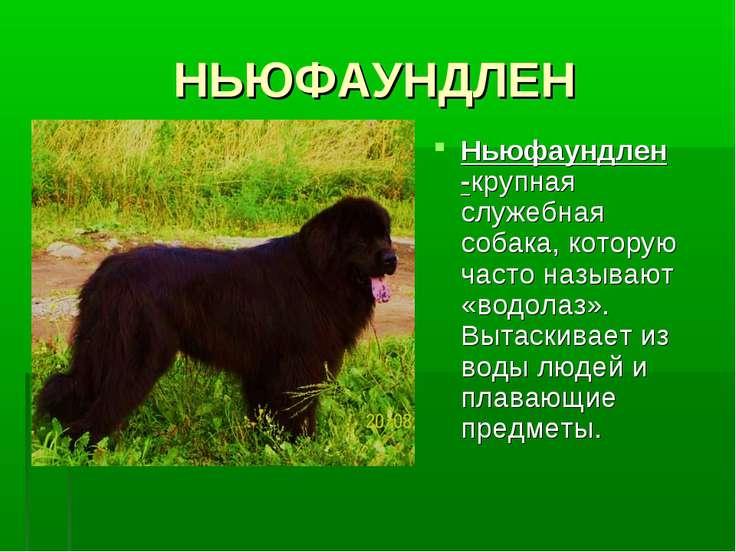 НЬЮФАУНДЛЕН Ньюфаундлен -крупная служебная собака, которую часто называют «во...