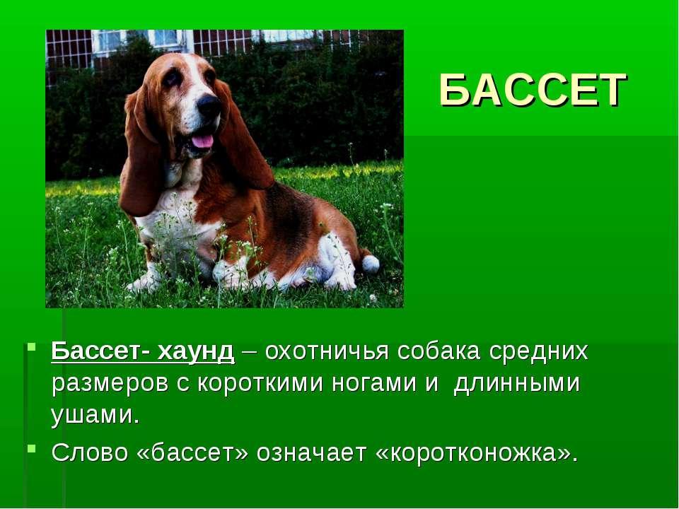 БАССЕТ Бассет- хаунд – охотничья собака средних размеров с короткими ногами и...
