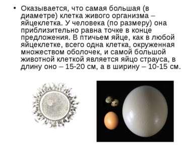Оказывается, что самая большая (в диаметре) клетка живого организма – яйцекле...