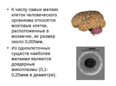 К числу самых мелких клеток человеческого организма относятся мозговые клетки...