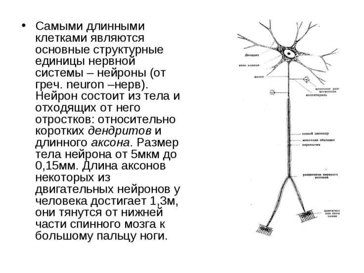 Самыми длинными клетками являются основные структурные единицы нервной систем...