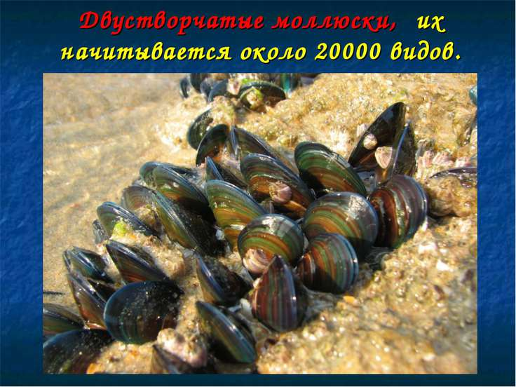 Двустворчатые моллюски, их начитывается около 20000 видов.
