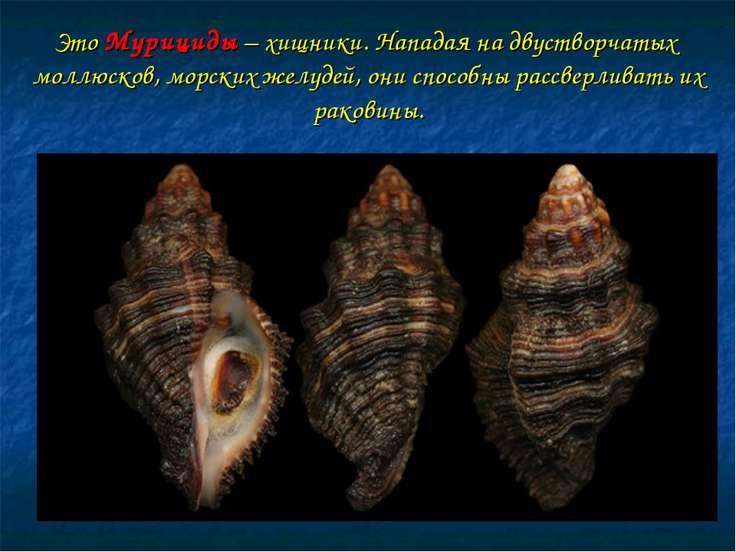 Это Мурициды – хищники. Нападая на двустворчатых моллюсков, морских желудей, ...