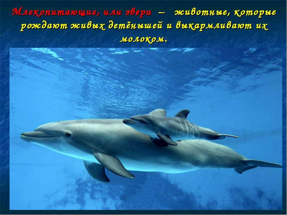Млекопитающие, или звери – животные, которые рождают живых детёнышей и выкарм...