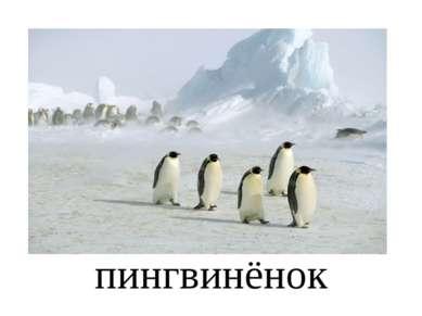пингвинёнок