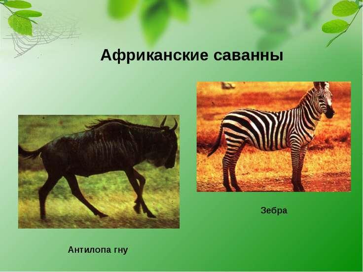 Антилопа гну Зебра Африканские саванны