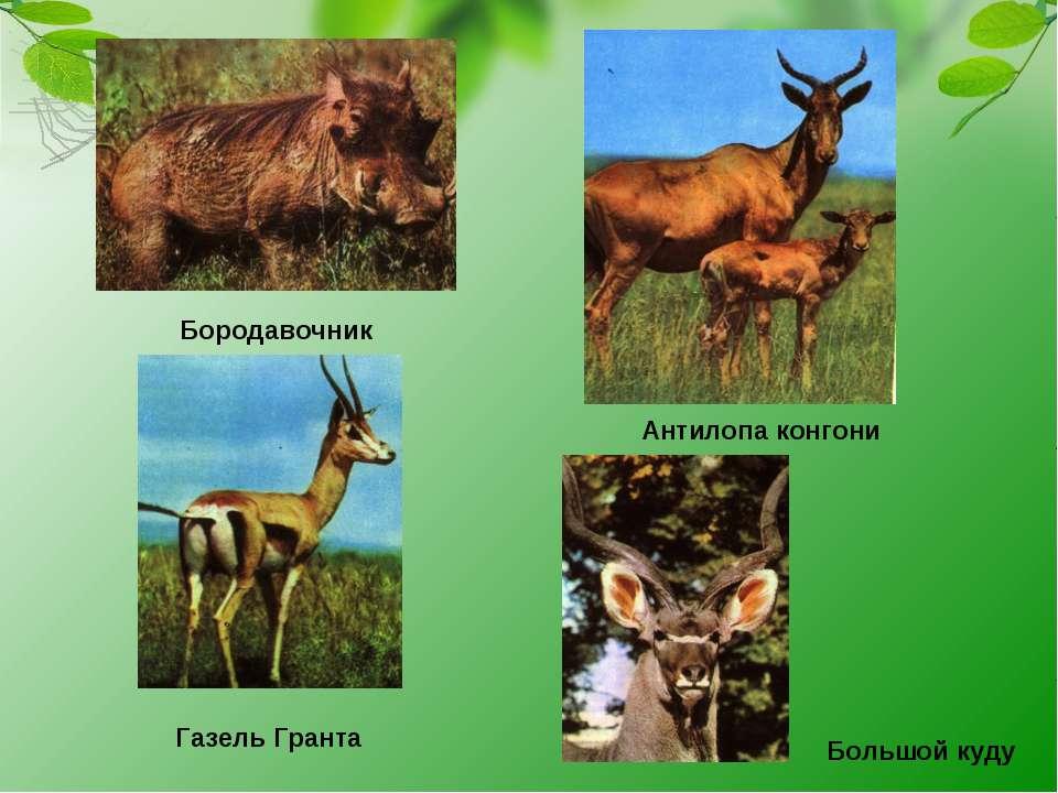 Бородавочник Антилопа конгони Газель Гранта Большой куду