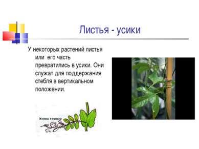 Листья - усики У некоторых растений листья или его часть превратились в усики...