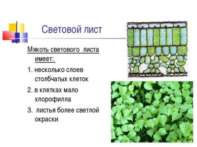 Световой лист Мякоть светового листа имеет: 1. несколько слоев столбчатых кле...