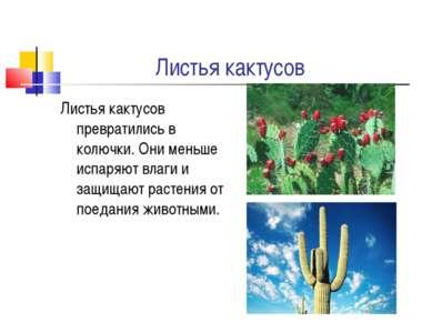 Листья кактусов Листья кактусов превратились в колючки. Они меньше испаряют в...