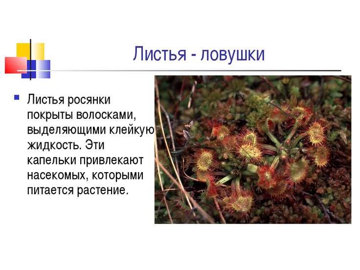 Листья - ловушки Листья росянки покрыты волосками, выделяющими клейкую жидкос...