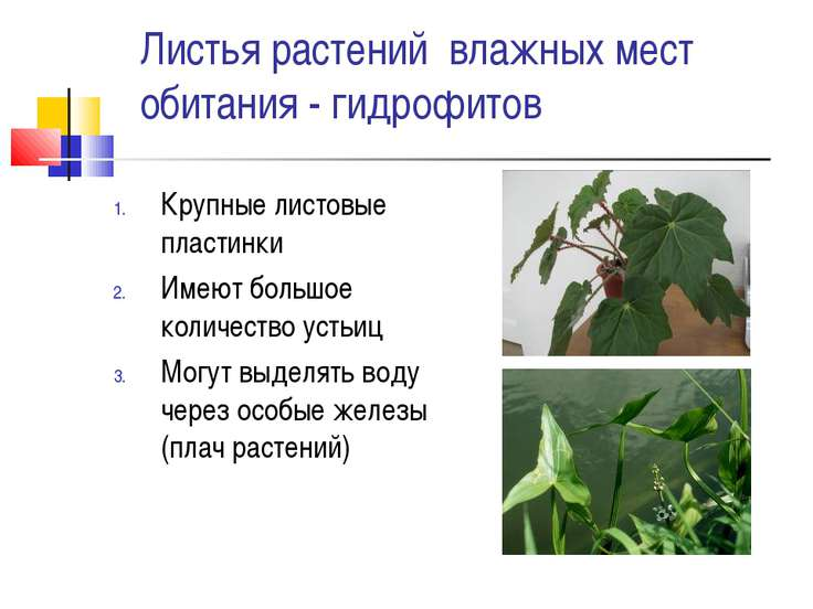 Листья растений влажных мест обитания - гидрофитов Крупные листовые пластинки...