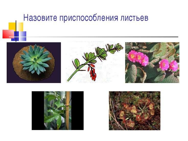 Назовите приспособления листьев