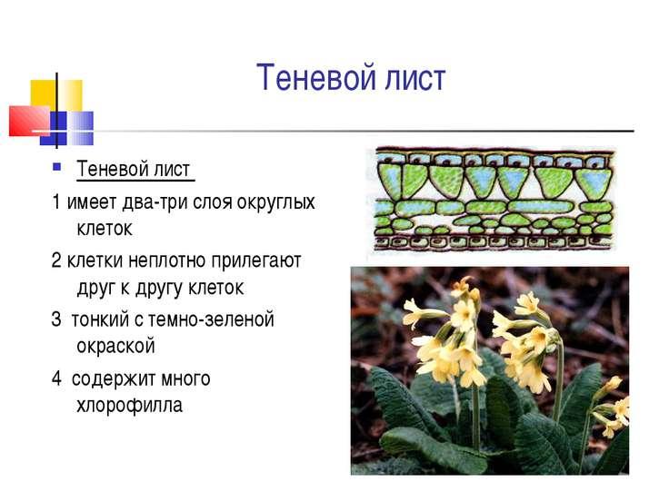 Теневой лист Теневой лист 1 имеет два-три слоя округлых клеток 2 клетки непло...