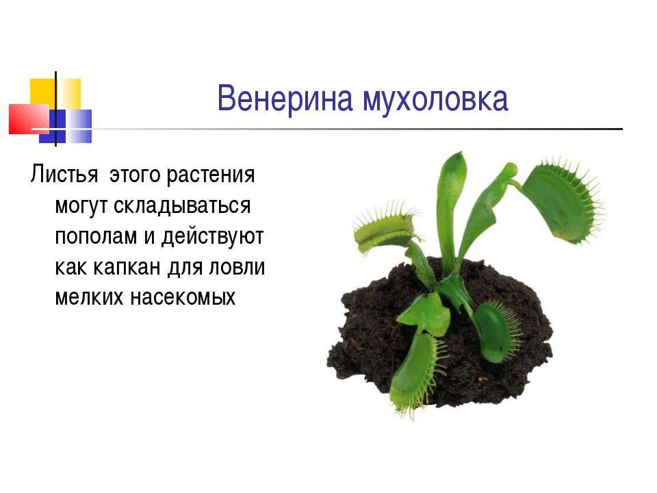 Венерина мухоловка Листья этого растения могут складываться пополам и действу...
