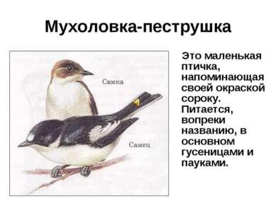 Мухоловка-пеструшка Это маленькая птичка, напоминающая своей окраской сороку....