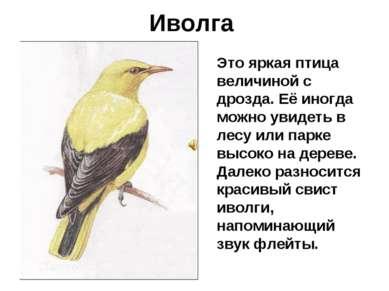 Иволга Это яркая птица величиной с дрозда. Её иногда можно увидеть в лесу или...