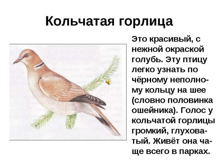 Кольчатая горлица Это красивый, с нежной окраской голубь. Эту птицу легко узн...