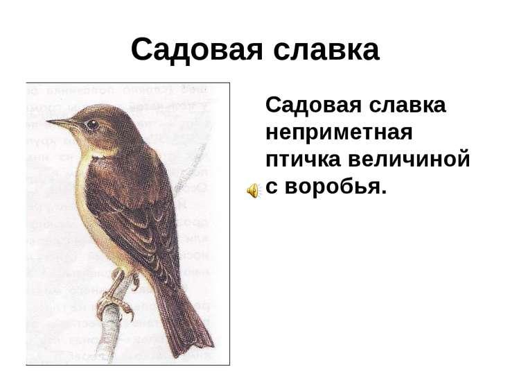 Садовая славка Садовая славка неприметная птичка величиной с воробья.