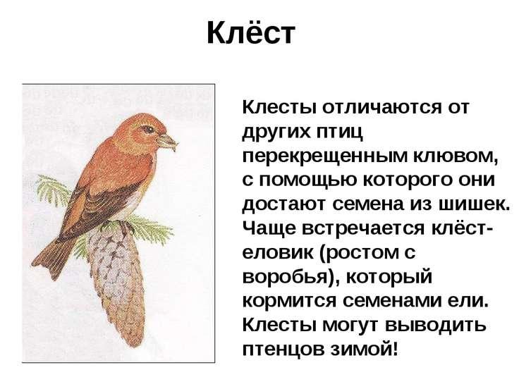 Клёст Клесты отличаются от других птиц перекрещенным клювом, с помощью которо...