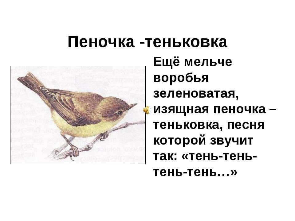 Пеночка -теньковка Ещё мельче воробья зеленоватая, изящная пеночка –теньковка...