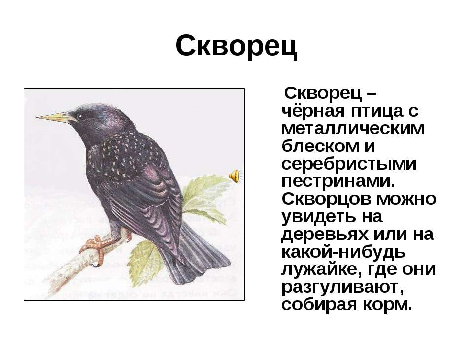 Скворец Скворец – чёрная птица с металлическим блеском и серебристыми пестрин...