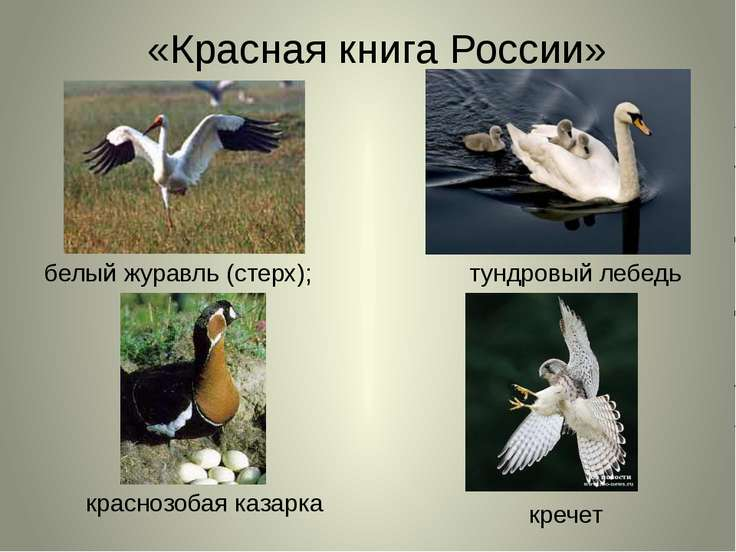 «Красная книга России» белый журавль (стерх); тундровый лебедь краснозобая ка...