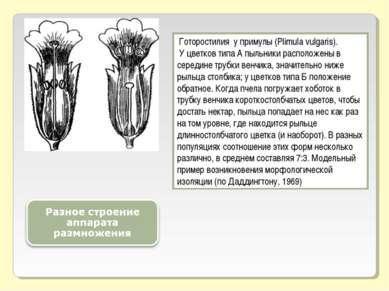 Готоростилия у примулы (Plimula vulgaris). У цветков типа А пыльники располож...